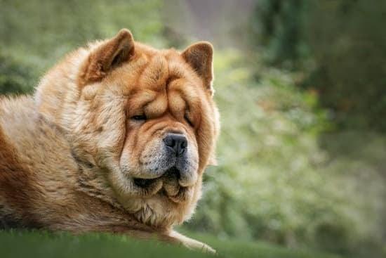 Do Chow Chows Look Like Bears?