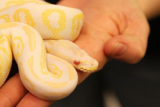 How Heavy Is A Full Grown Ball Python?