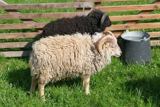 Ouessant Sheep breed