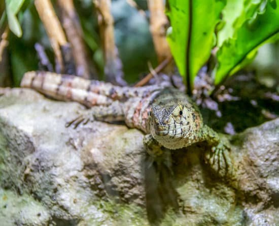 Chinese Crocodile Lizard Habitat