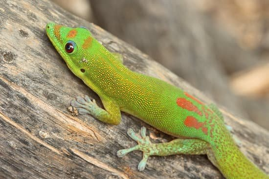 Cute Day Gecko Lizard for Pet