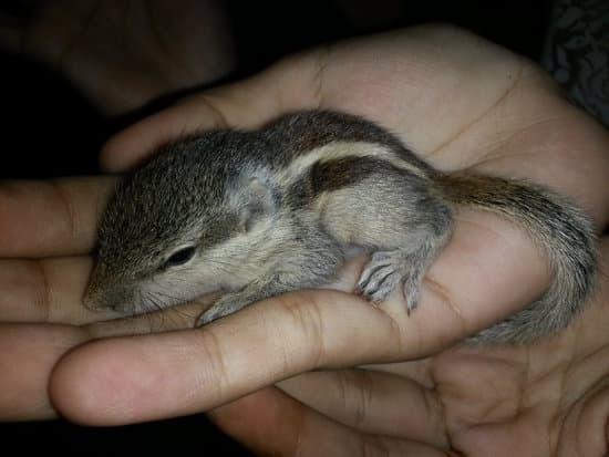 Baby squirrel, a few weeks after birth