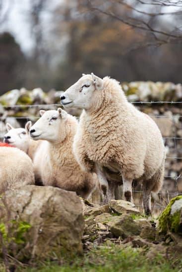 A group of Cheviot ewe