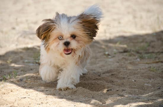 The Shih Tzu breeds of small hypoallergenic dog