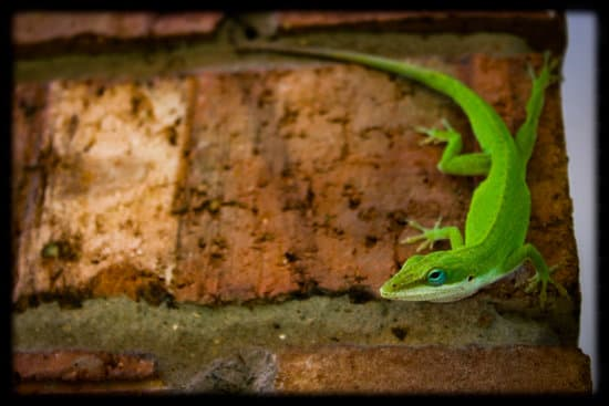 a sexually mature green anole