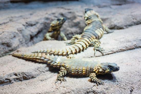 Armadillo Lizard Diet