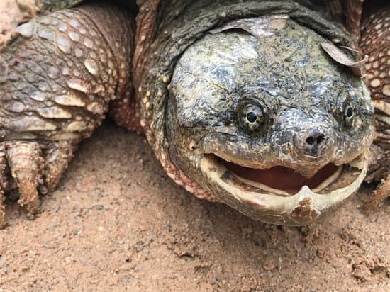 Snapping turtle hiss