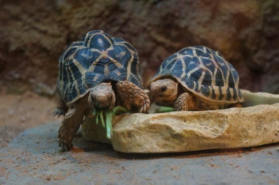 The Indian Star Tortoise