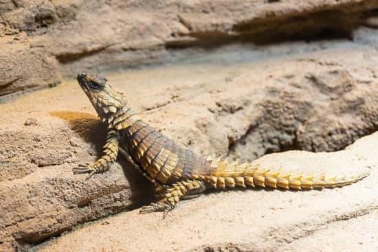 10 Armadillo Lizard Facts