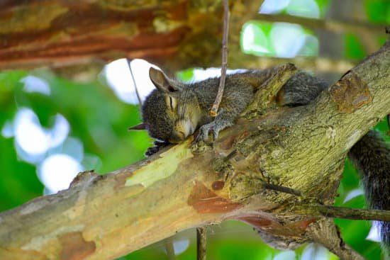 Yes squirrels close their eyes when they sleep