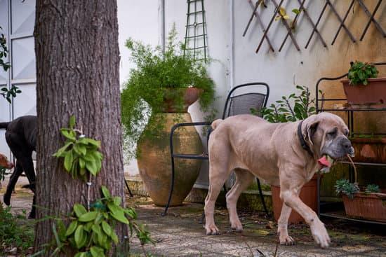 Cane Corso small mastiff breeds