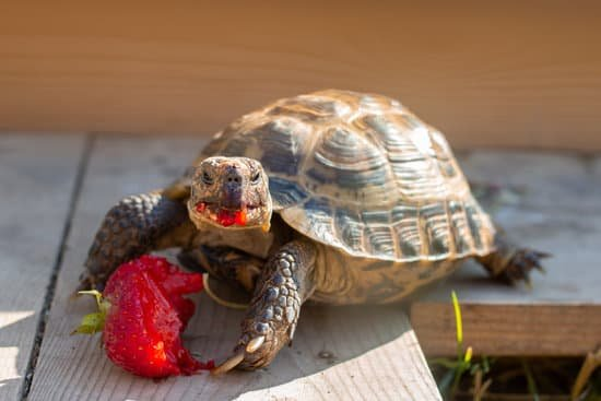 Russian tortoise smaller in size, so you can house them in your house