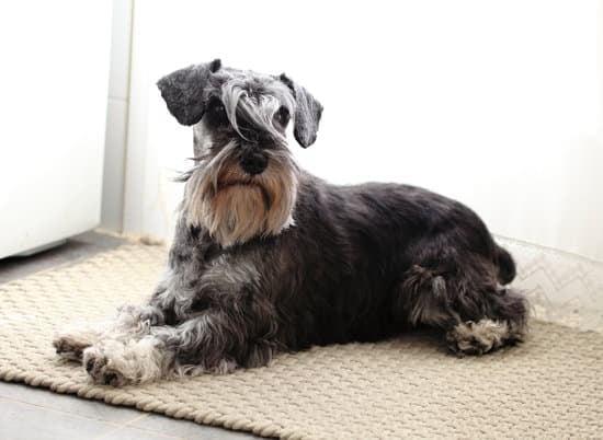 Schnauzer Lab small lab dog breed
