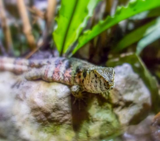Chinese Crocodile Lizard Health: Diseases And Illnesses