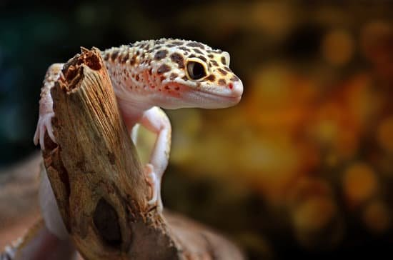 How To Make Your Leopard Gecko Trust & Love You?