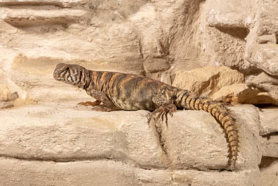 A healthy ornate uromastyx cost between $350-600