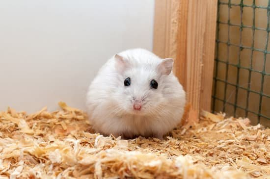 Winter White Dwarf small Hamster breeds