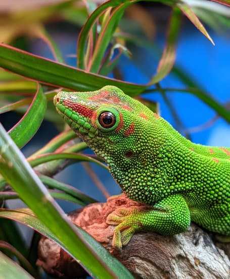 Cute Day Gecko Pet