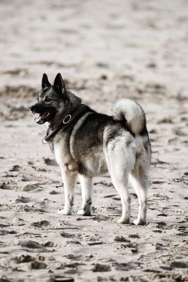 Norwegian Elkhound breed of small black dog