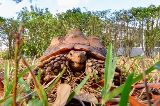 Sulcata requires outdoor enclosure
