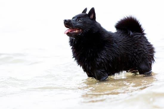 Schipperke small black dog