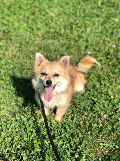 Pomchi mixed breed dog