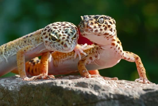 are leopard geckos social