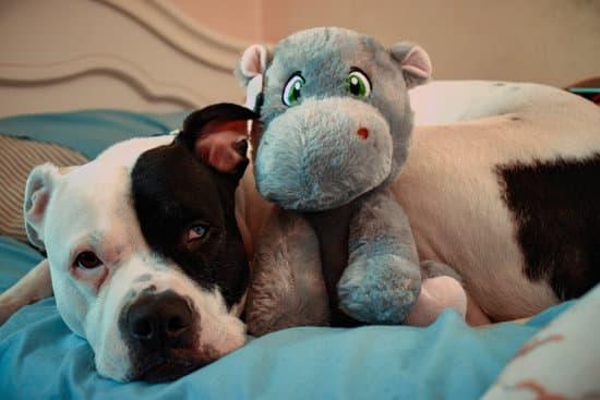 American Bulldog Pitbull breed
