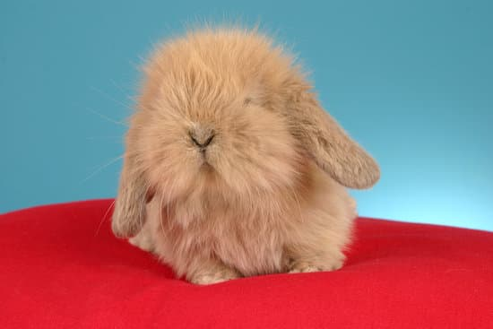 American Fuzzy lop rabbit breeds