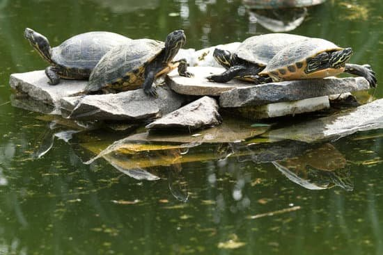 A group of juvenile snapping turtles