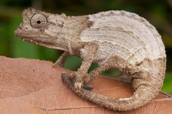 Pygmy chameleon breed