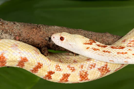 Bull snake curled around a branch in its cage
