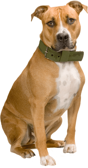 A boxer dog breed