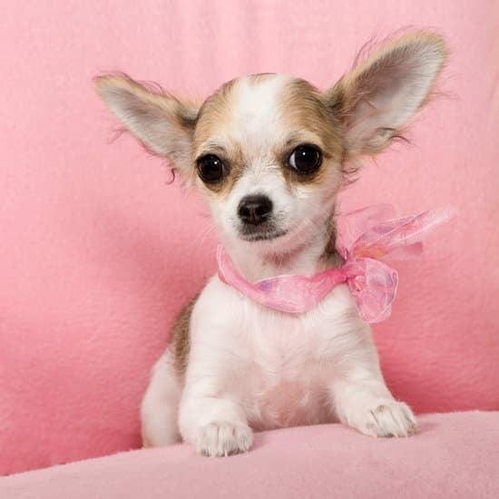 The Chihuahua dog breed