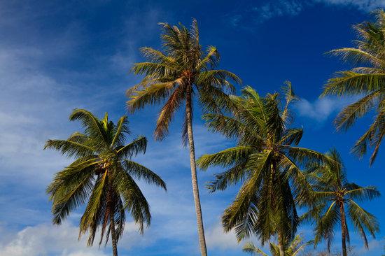 Coconut Tree in Phuket