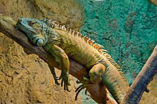 monthly costs for keeping an iguana