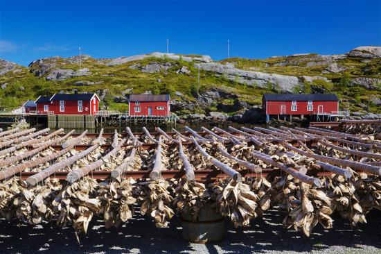 Stock Fish on Lofoten