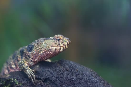 Does a Chinese Crocodile Lizard Bite?
