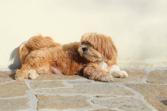 Lhasa Apso long haired dog breeds