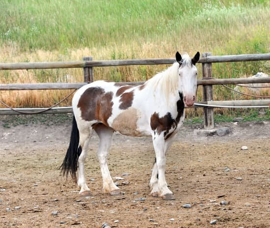 Paint Horse breed of small horse for riding
