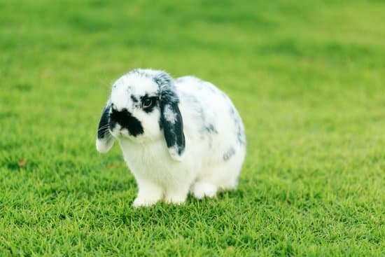 A Holland Lop small bunny breeds
