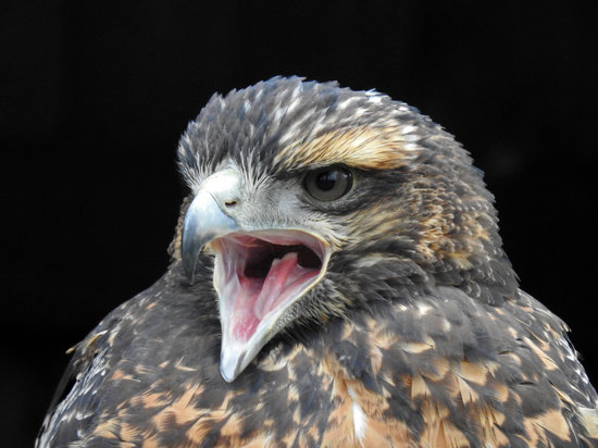 Harris Hawk, Cry, Bill, Raptor, Bird Portrait, Portrait