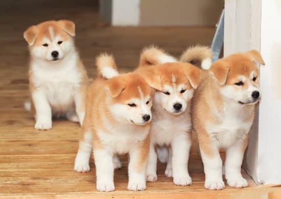 Asian dog: Akita