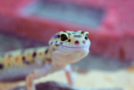 Leopard gecko pet lizard