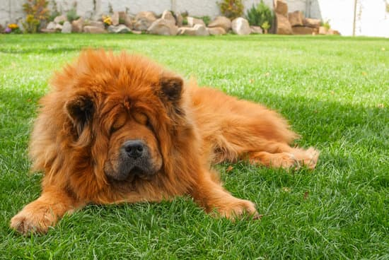Chow chow do not aggressive so often, they are protective personality