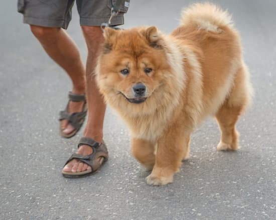 Chow Chows Like to Play with Humans