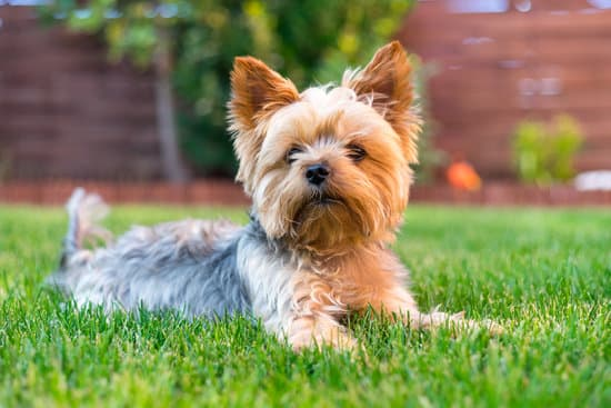 Yorkshire Terrier small teacup dog breed