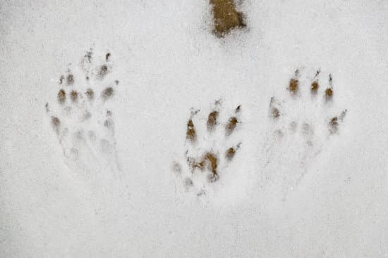 A squirrel's paw tracks in the snow