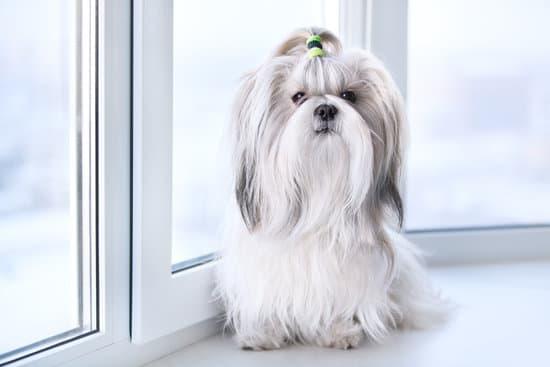 Shih Tzu small lazy dog breeds
