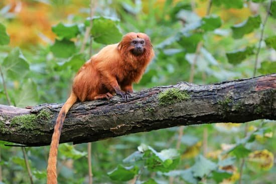 Golden Lion Tamarins breed of small monkey